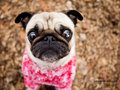 Curious pug in pink.