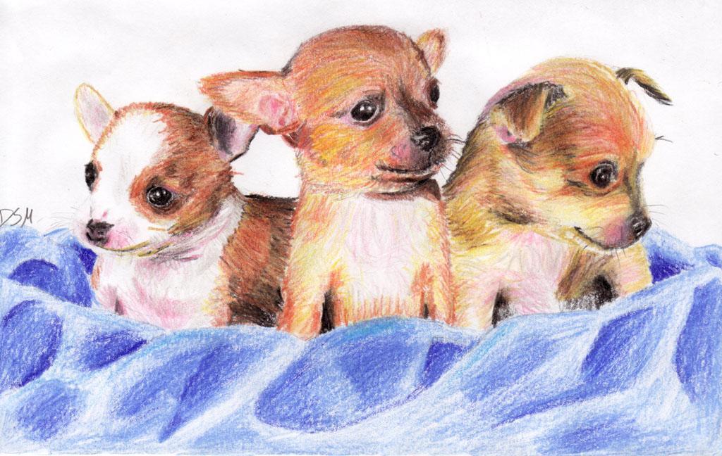 Cute Chihuahuas