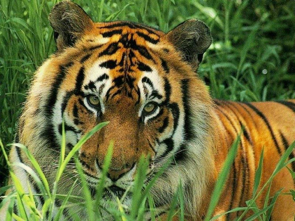National Geographic images Feline Wallpaper HD wallpaper and ...