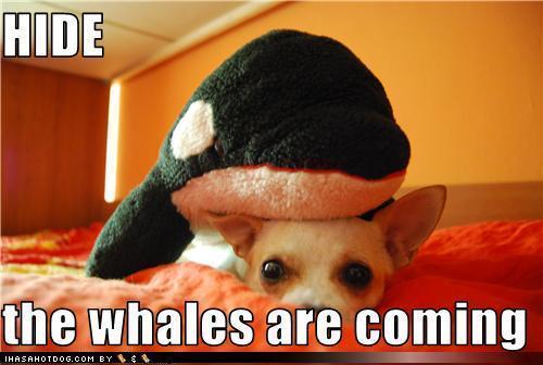 Funny/Cute चिहुआहुआ