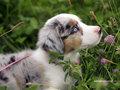 Mini Australian Shepherd.
