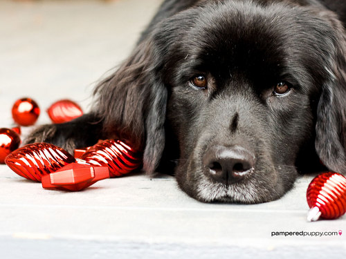 Newfoundland and Christmas bulbs. - dogs Wallpaper