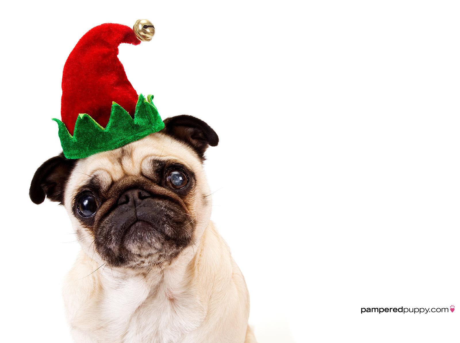 Pug in an elf hat.