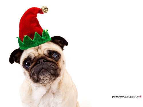 Pug in an elf hat.