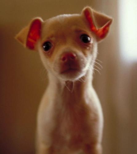Chihuahuas wallpaper entitled Soooooo cute !!