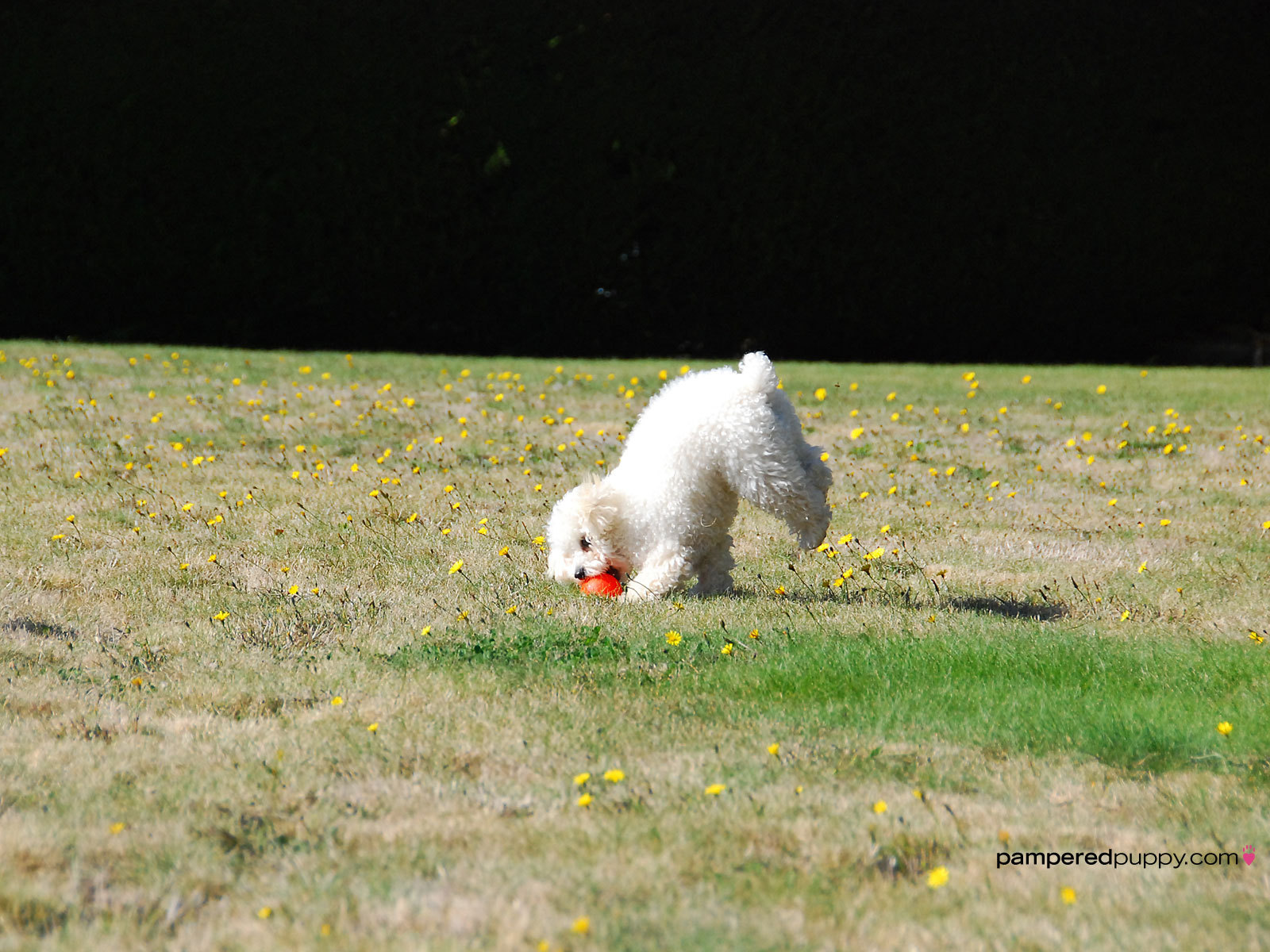 Toy poodle playing fetch.