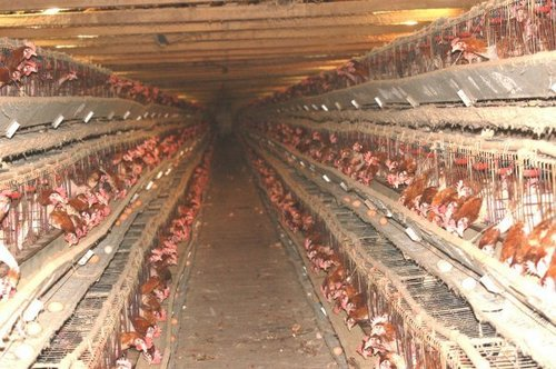 battery cage hens