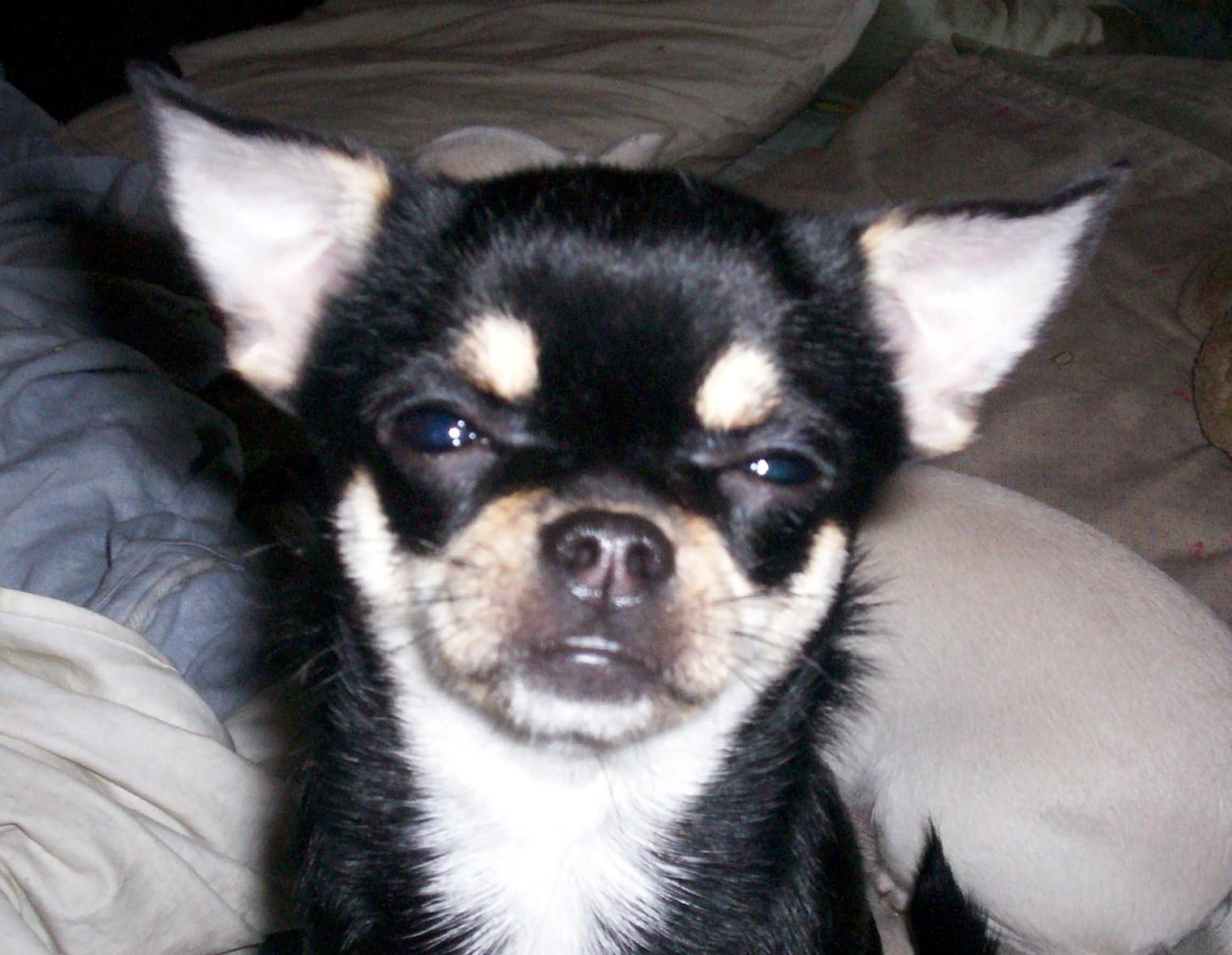 Chihuahua ♥ - Chihuahuas Photo (13609951) - Fanpop