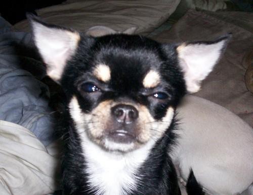 ♥ Chihuahua ♥
