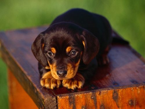 Dachshunds wallpaper called ♥ Dachshunds ♥