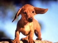 dachshunds - ♥Dachshunds♥ wallpaper