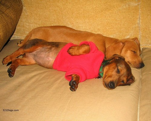 ♥Dachshunds♥