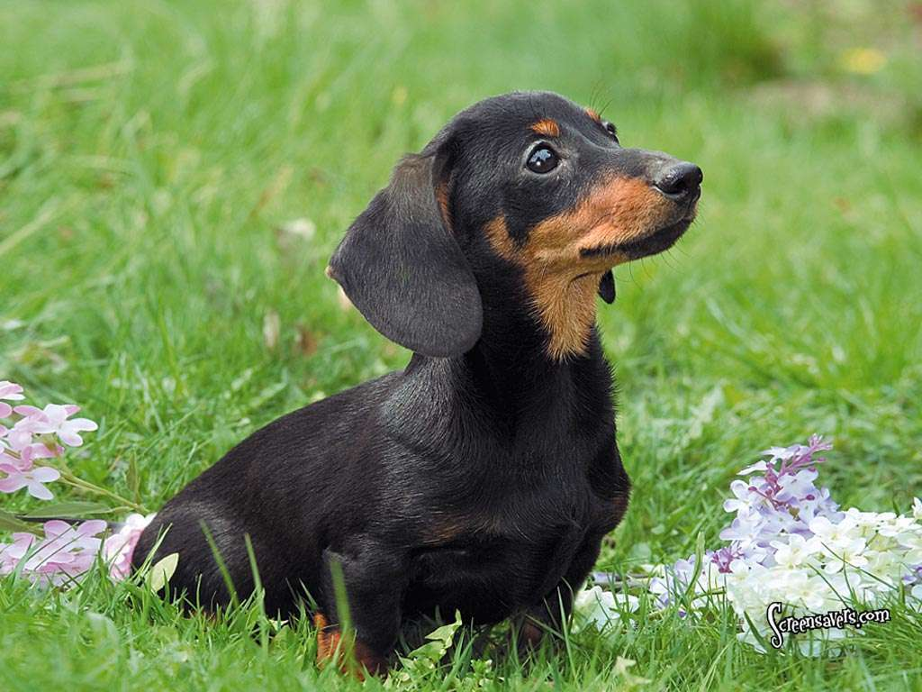 Dachshunds images ♥Dachshunds♥ HD wallpaper and background ...