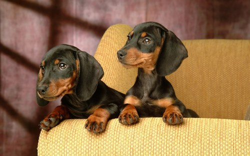Dachshunds wallpaper called ♥Dachshunds♥