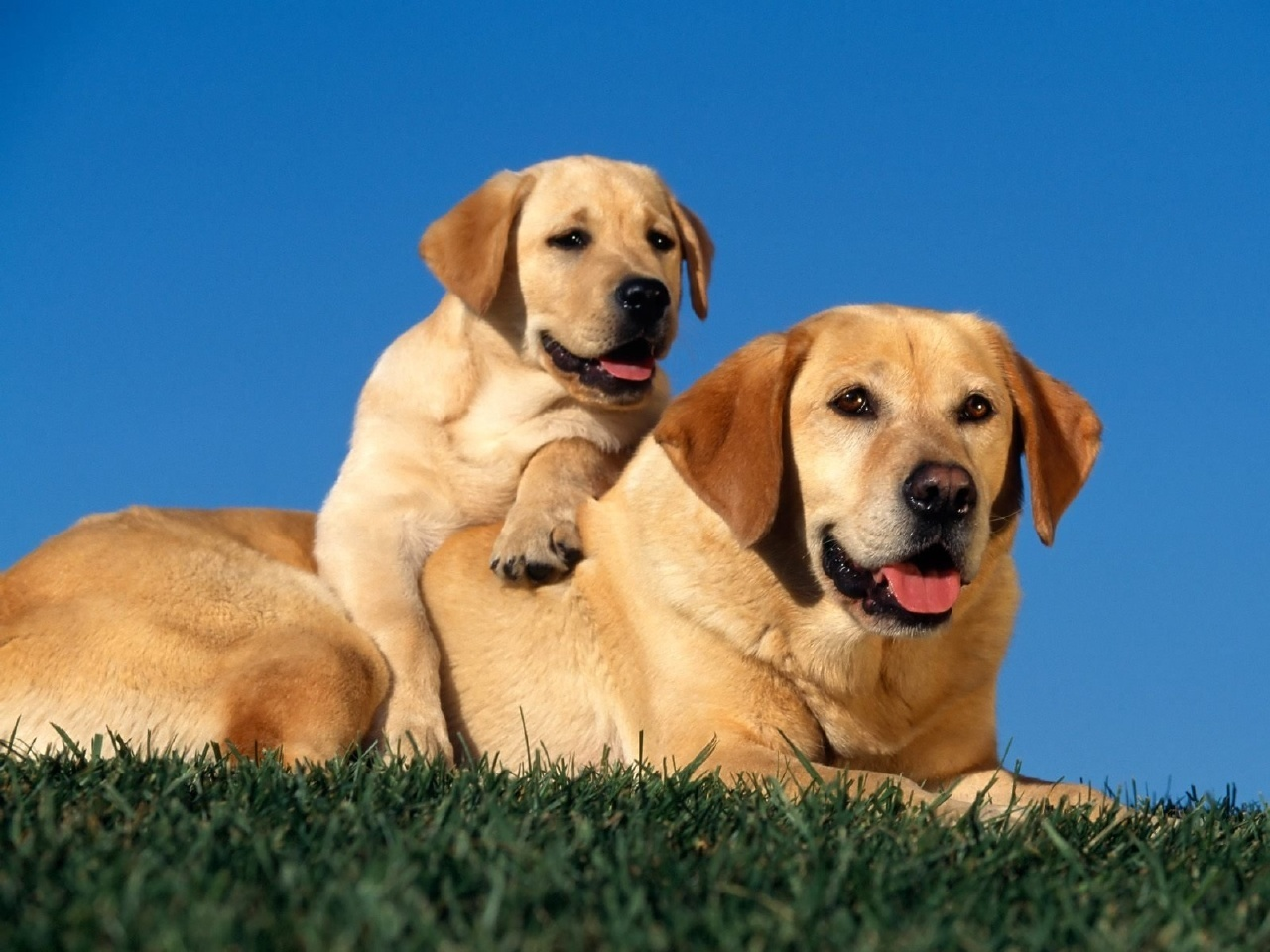 Labradors images ♥Labradors♥ HD wallpaper and background