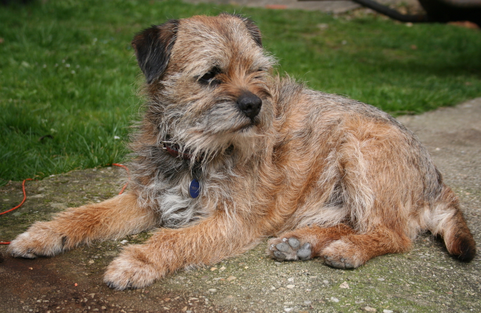 Border Terriers Images Border Terrier Hd Wallpaper And