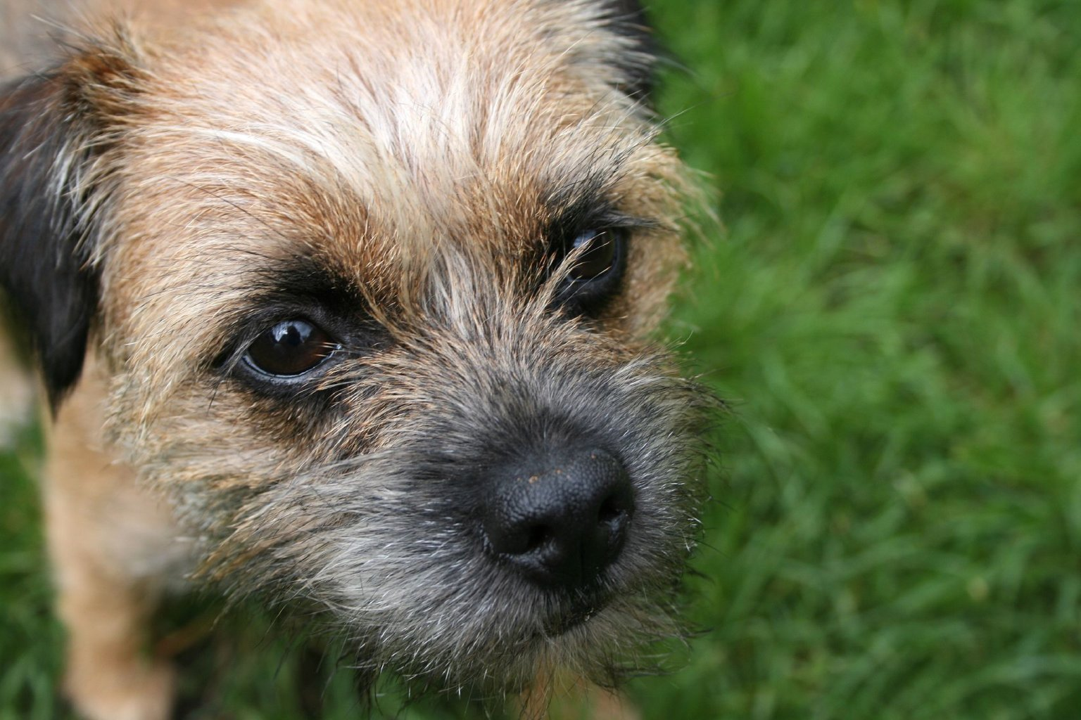 Border Terriers images Border Terrier HD wallpaper and background photos (13687133)