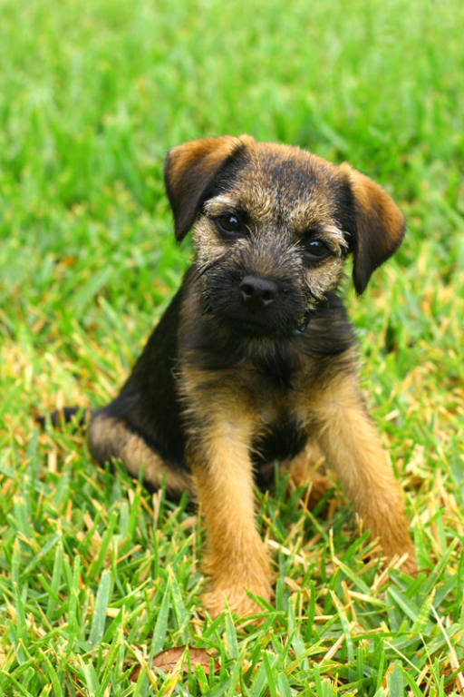 Border terriers images border terrier hd wallpaper and for Cute stuff for sale