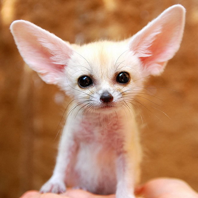 CUTEST BABY puppies&Fennec Fox!! *adorable*