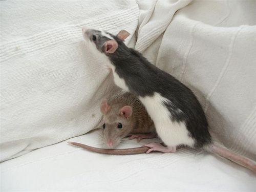 Rats hình nền