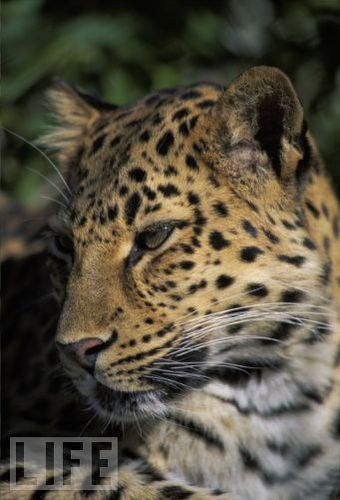wallpaper amur leopard animal - photo #8