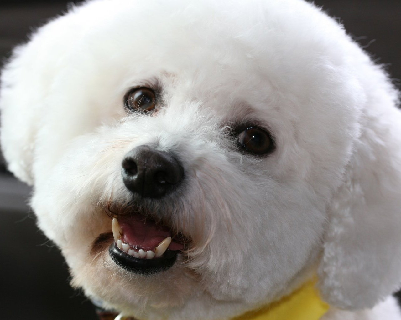 Bichon Frises images Beautiful Bichon HD wallpaper and ...
