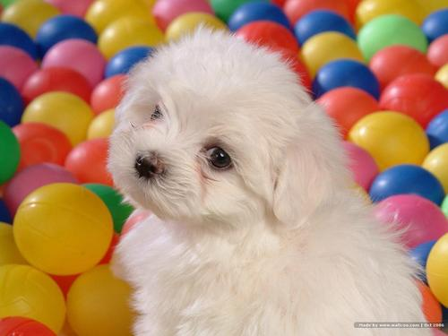 Beautiful Bichon