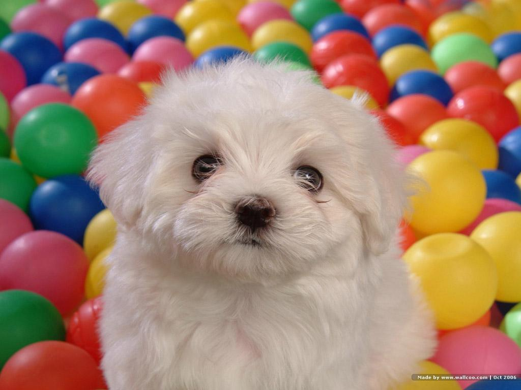 Beautiful Bichon - Bichon Frises Wallpaper (13733625) - Fanpop ...