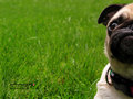 Beautiful Pug   - pugs wallpaper