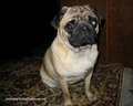 Beautiful Pug ♥