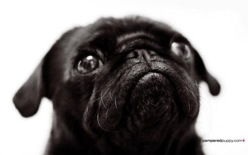 Beautiful Pug ♥