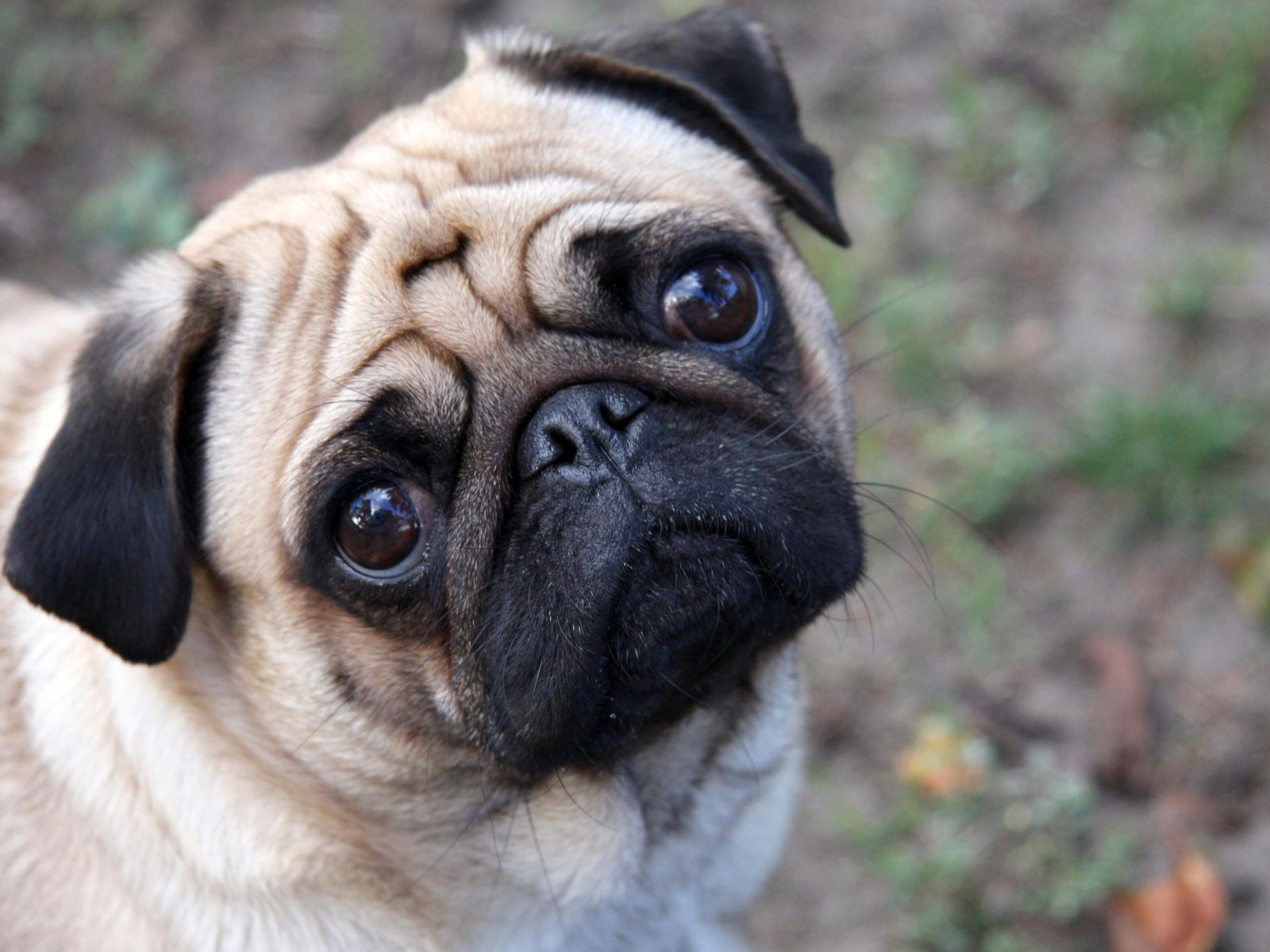 Pugs Beautiful Pug ♥