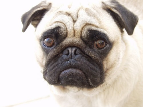 Beautiful Pug ♥  - pugs Wallpaper