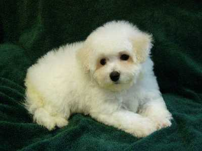 Bichon Frises images Bichon Frises wallpaper and background photos