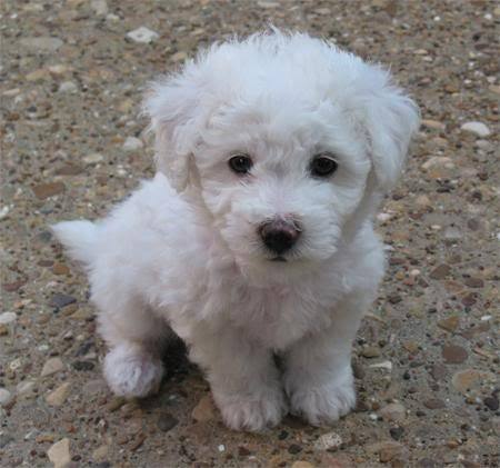 Bichon Frises - bichon-frises Photo