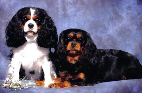 Cavalier King Charles Spaniels wallpaper entitled Cavalier King Charles Spaniel