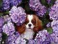 Cavalier King Charles spaniel, perro de aguas
