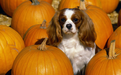 Cavalier King Charles Spaniels images Cavalier King Charles Spaniel HD wallpaper and background photos