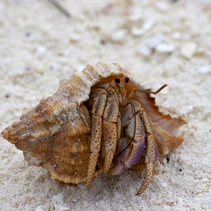 Hermit crab - photo#12