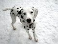 Dalamtian - dalmations photo