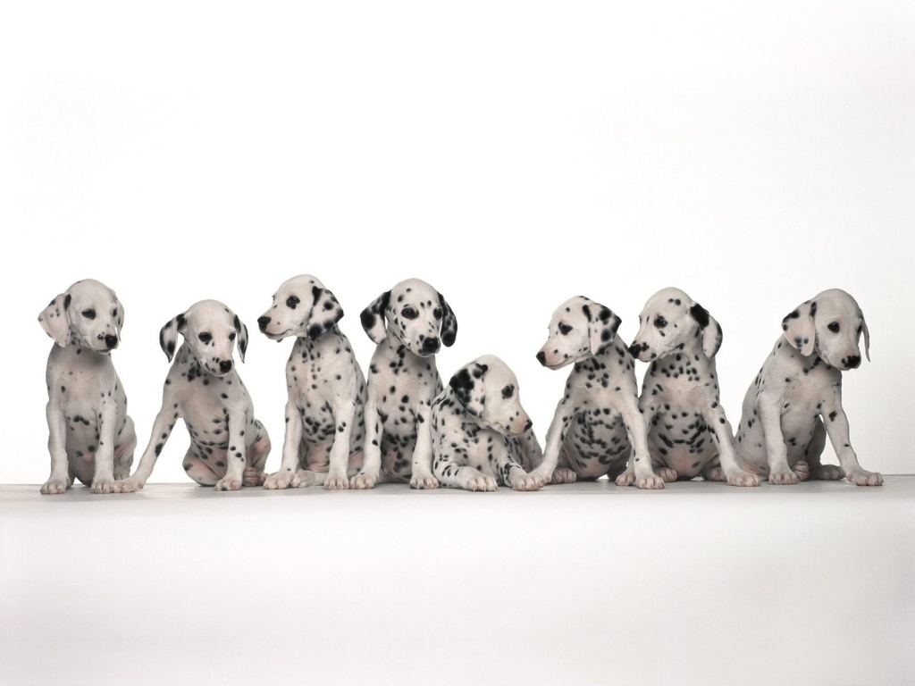 Dalmations Images Dalmatian HD Wallpaper And Background Photos