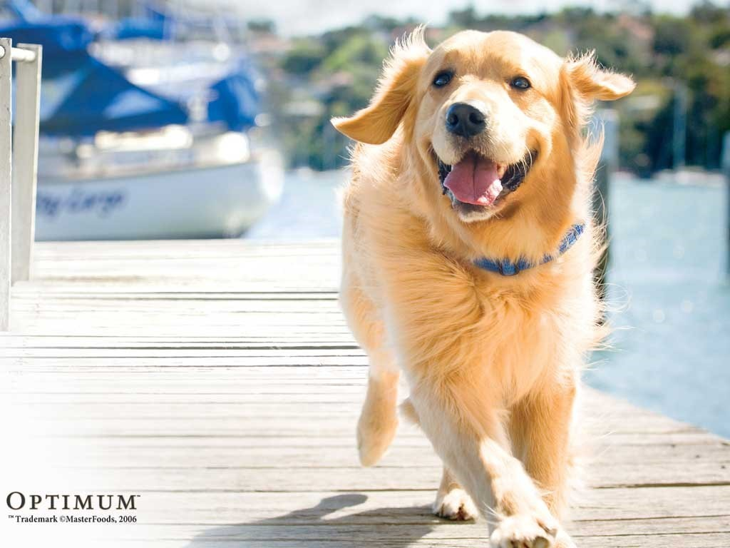 rescue golden retrievers indiana