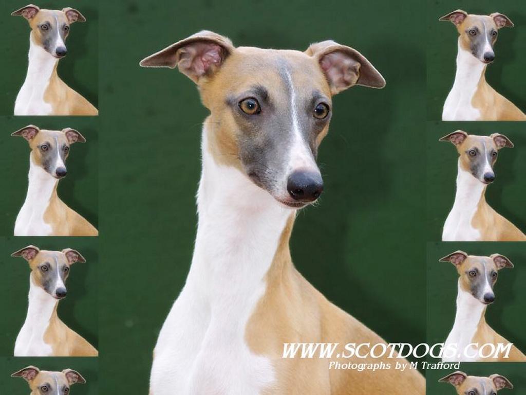 Greyhound - Dogs Wallpaper (13789004) - Fanpop