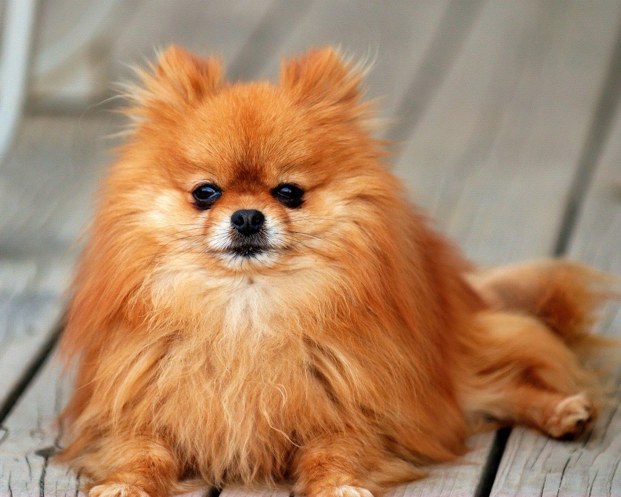 free pomeranian puppy wallpaper - photo #23
