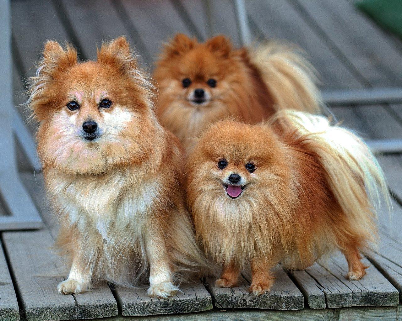 Pomeranians images pomeranian hd wallpaper and background photos - Alimentos Para Perros Pomeranian Spitz Puppies