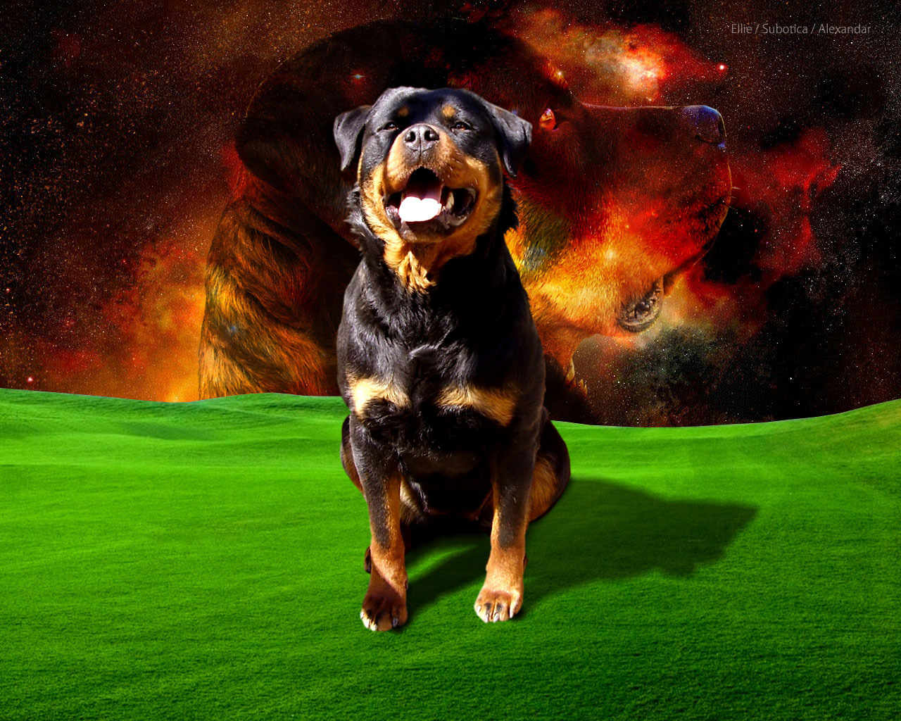 Rotweilers Images Rottweiler HD Wallpaper And Background Photos