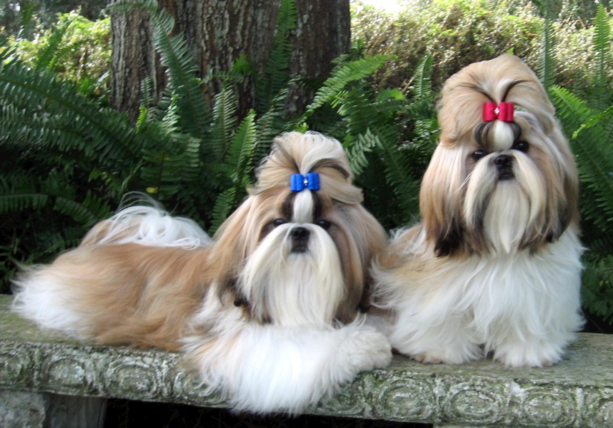 Shih Tzu - Shih Tzu Photo (13713143) - Fanpop