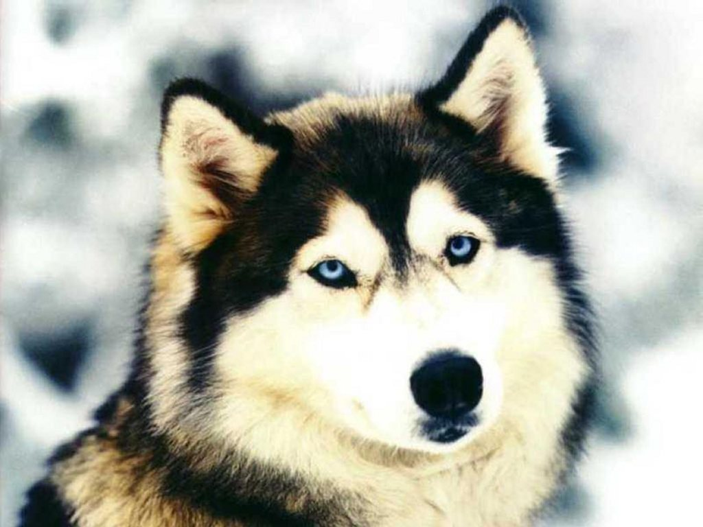 Siberian Husky - Dogs Wallpaper (13788924) - Fanpop fanclubs