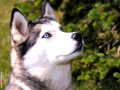 Siberian Husky - dogs wallpaper