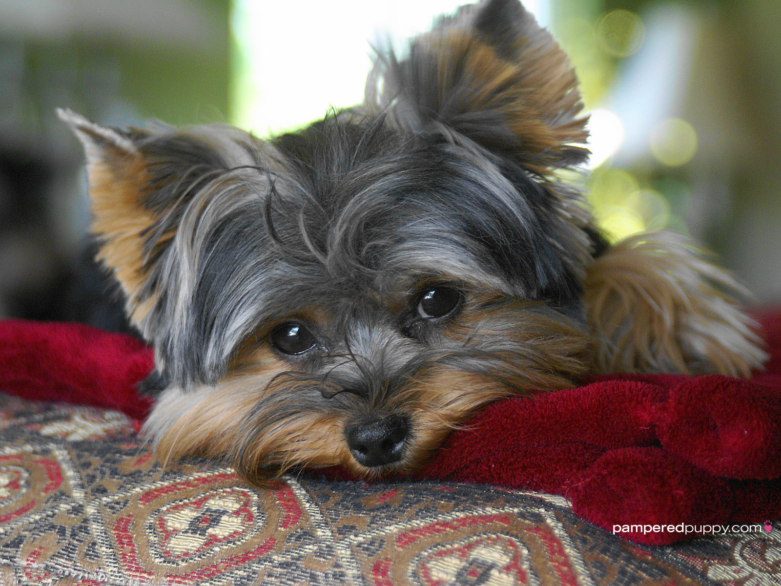 Cute Yorkie Puppies Wallpaper Html Pictures to pin on Pinterest